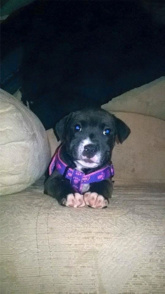 Skye, one of her puppies im keeping 12509650_10153411201793727_6665070949436059065_n_zpsqnt8wrbr