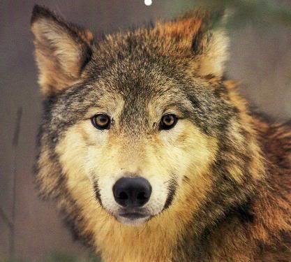-Erasmus- Wolf14
