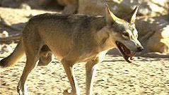 Anin Wolf33