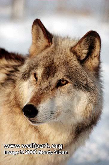 High Hills Pack Wolf55