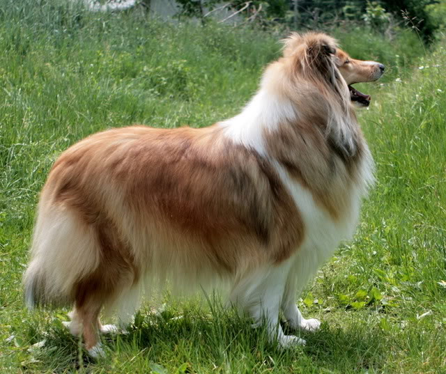 Romanian Collie Forum