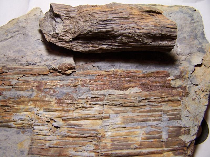 Calamites Schlotheim ,1820.  Annularia sternberg , 1822 .  - Page 5 100_5783%20-%20copia_zps8ddf2v11