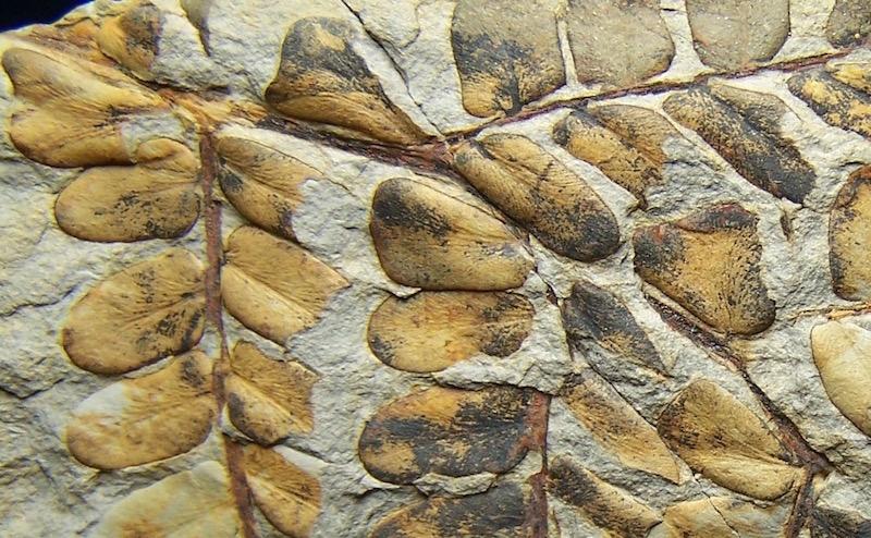 Neuropteris ovata Hoffmann . Cyclopteris Brongniart , 1830.  100_6110%20copia%202_zps7mdle2ks