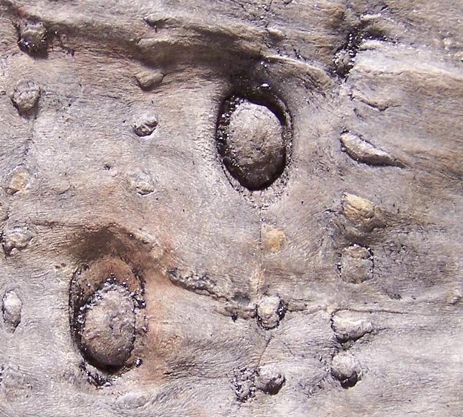Calamites Schlotheim ,1820.  Annularia sternberg , 1822 .  - Page 5 100_6628%20copia%202_zpsxufuzuk3