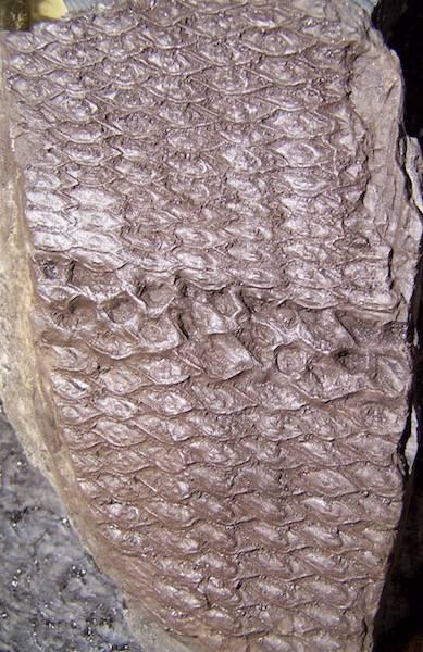 Sigillaria et zone d'insertion des sigillariostrobus - Page 2 100_6972%20copia_zpsokam9rbu