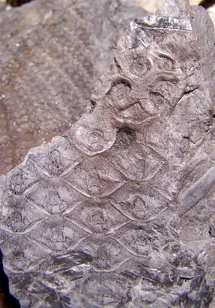 Sigillaria et zone d'insertion des sigillariostrobus - Page 2 100_6978%20copia_zpsgwqyrfmx