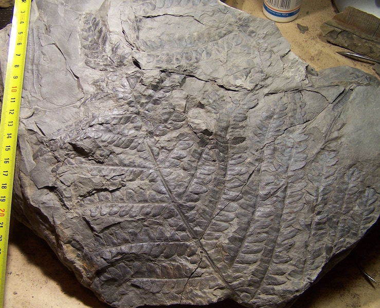 Callipteridium   Weiss , 1870 . 100_7741%20copia_zpsxsacirjk