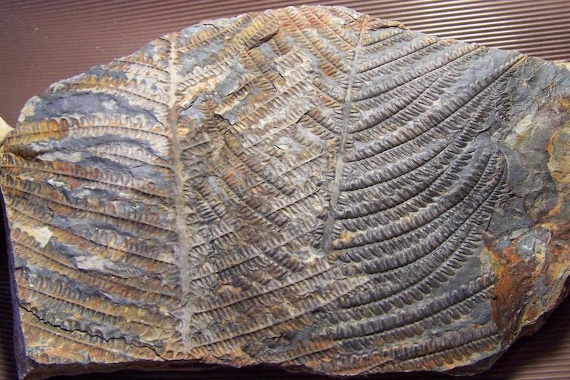 Callipteridium   Weiss , 1870 . 100_9114%20copia_zpsbalkhxpj