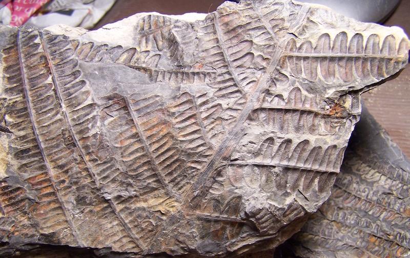 Callipteridium   Weiss , 1870 . 100_9359%201%20copia_zpsuq5lozmx