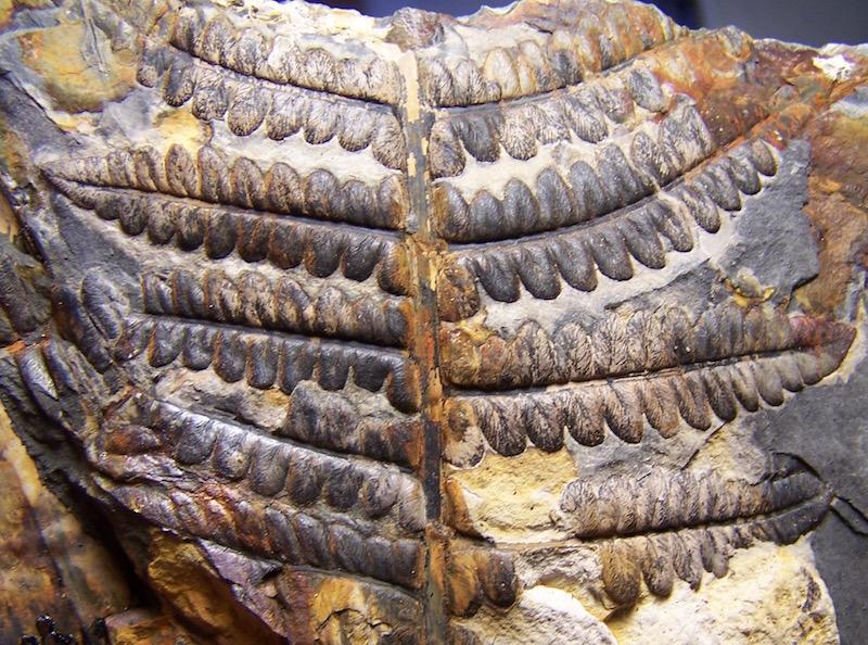 Callipteridium   Weiss , 1870 . 100_9362%20copia_zpsa8pzuwsv