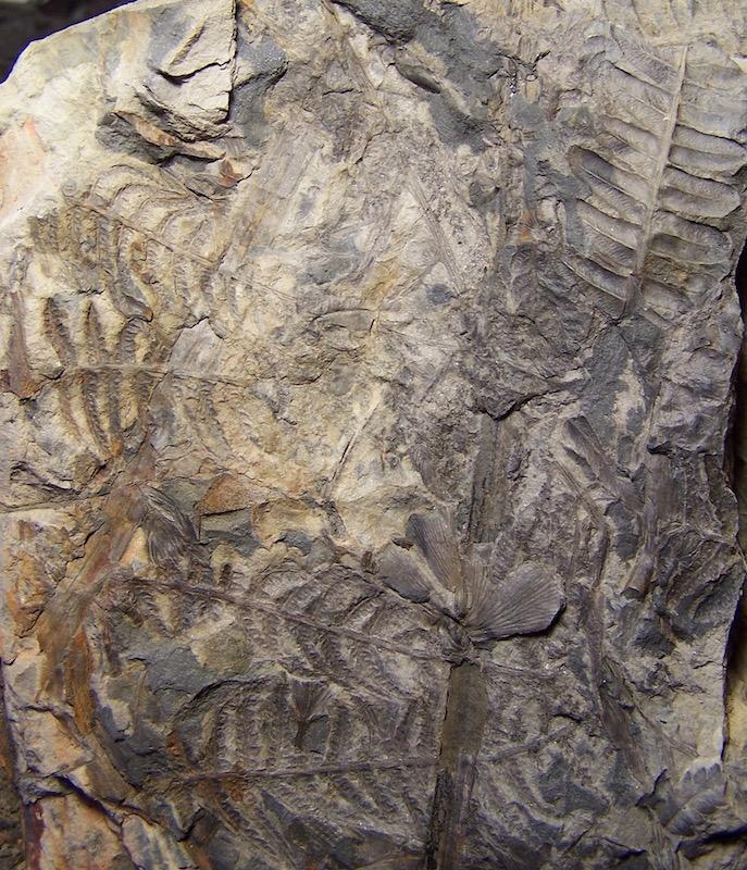 Senftenbergia grunerii 100_9594%20copia_zpsgkglblix