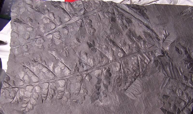 Eusphenopteris rotundiloba, Eusphenopteris talensii 100_9753_zpsoikg44kq