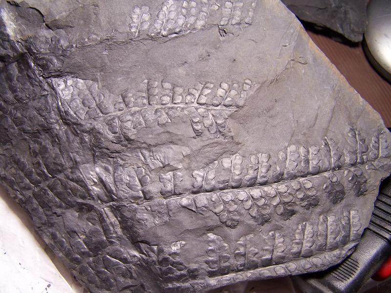 Eusphenopteris rotundiloba, Eusphenopteris talensii 100_9777%20copia_zpslknvfixj