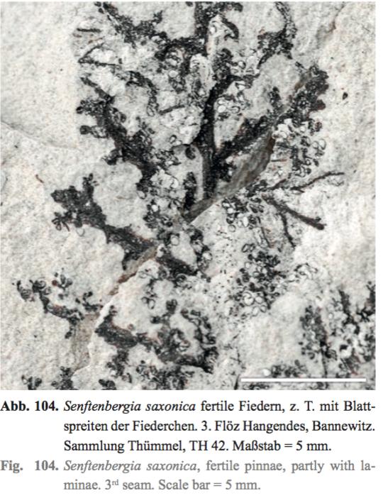 Senftenbergia grunerii Captura%20de%20pantalla%202018-07-19%20a%20las%2016.27.05%20copia_zps9x9klknd
