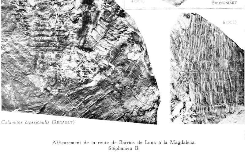 Calamites Schlotheim ,1820.  Annularia sternberg , 1822 .  - Page 5 Stockmans%20y%20W.%20Calamites%20crassicaulis%20copia_zps8alfpjfe