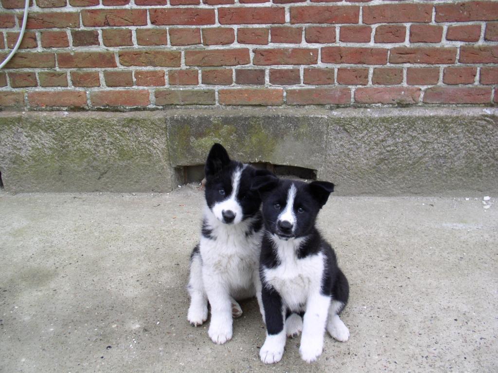 Is My Puppy A Husky? Hvalpe163_zpscf640618