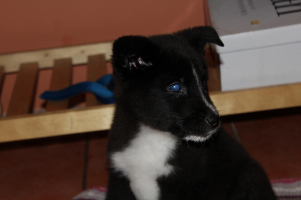Is My Puppy A Husky? IMG_0342_zps92969a74