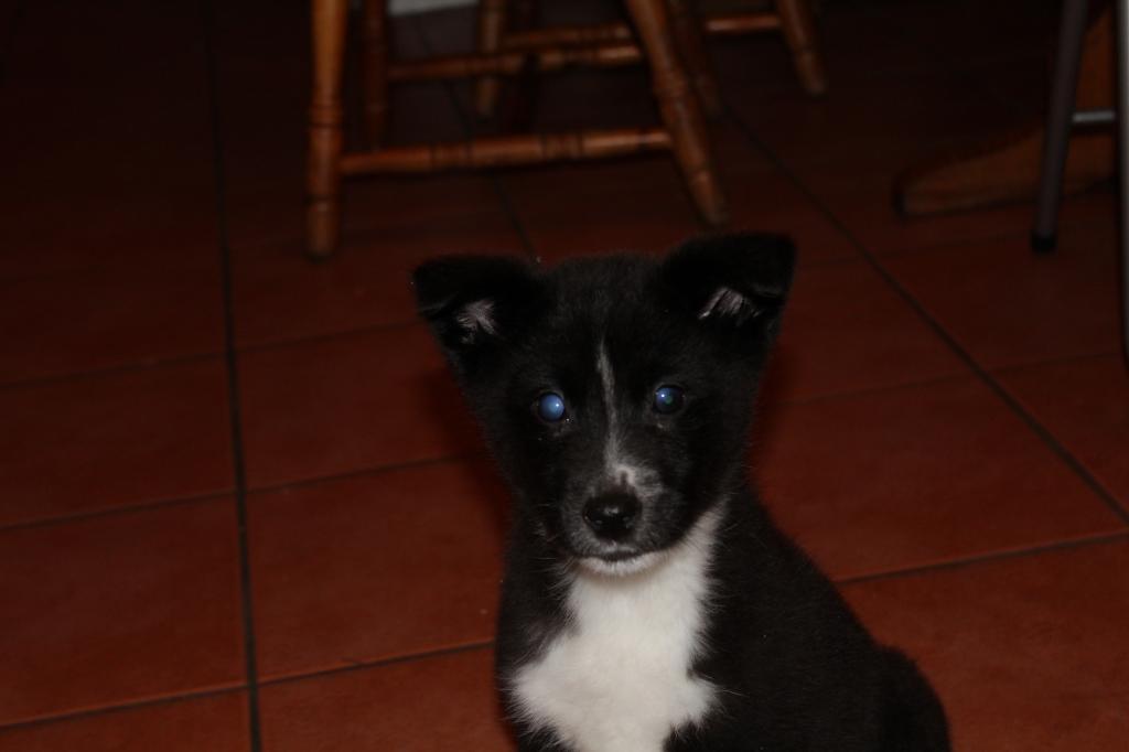 Is My Puppy A Husky? IMG_0343_zps9f92235a