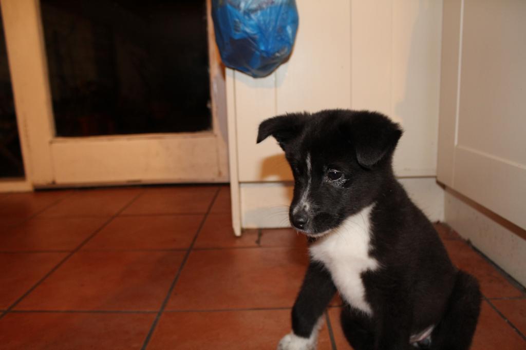 Is My Puppy A Husky? IMG_0393_zps890a9641