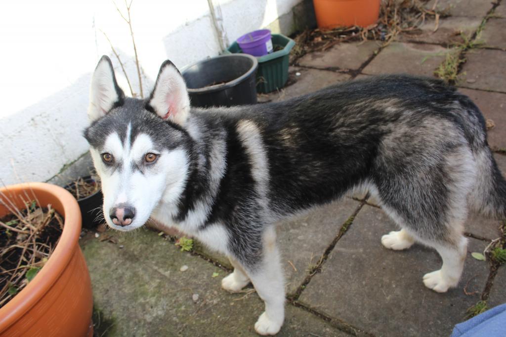 Is My Puppy A Husky? - Page 2 IMG_0439_zpse1b643d0