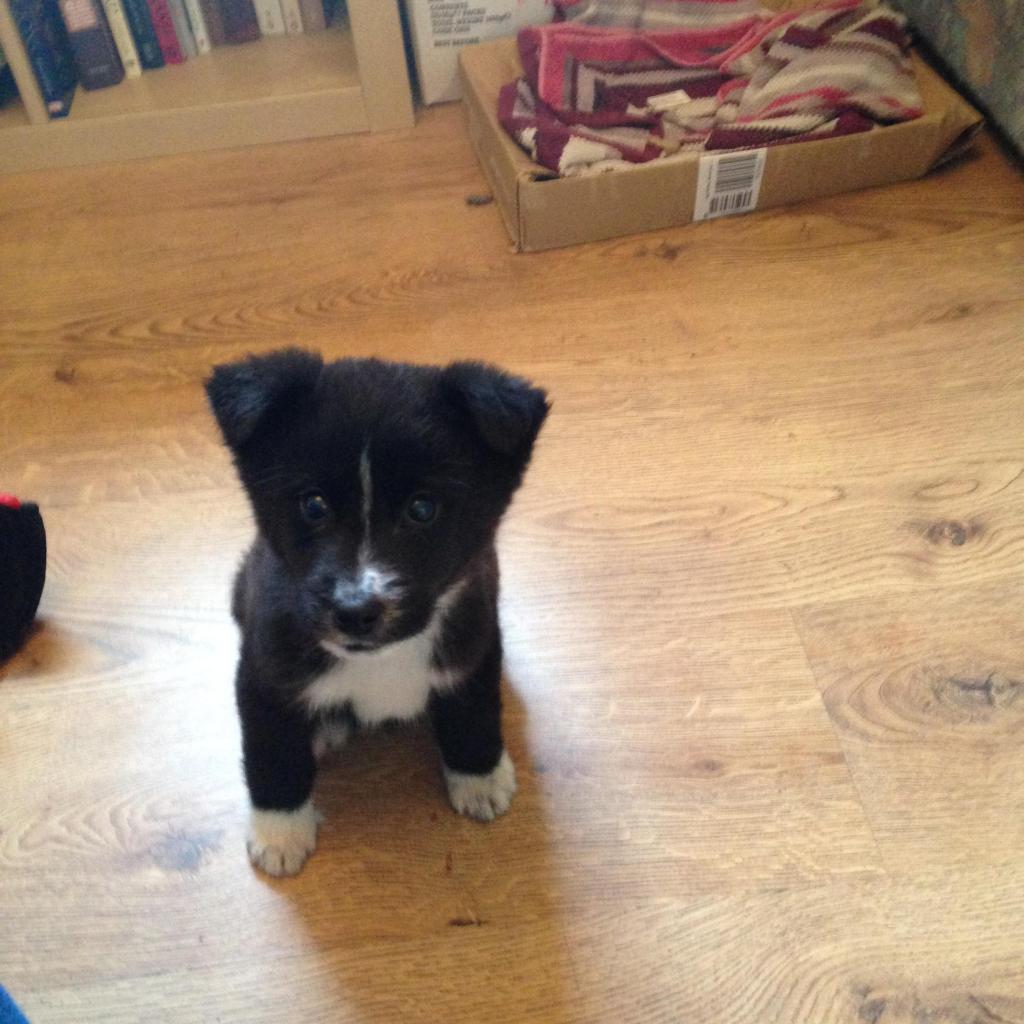 Is My Puppy A Husky? IMG_1333_zps81843d32