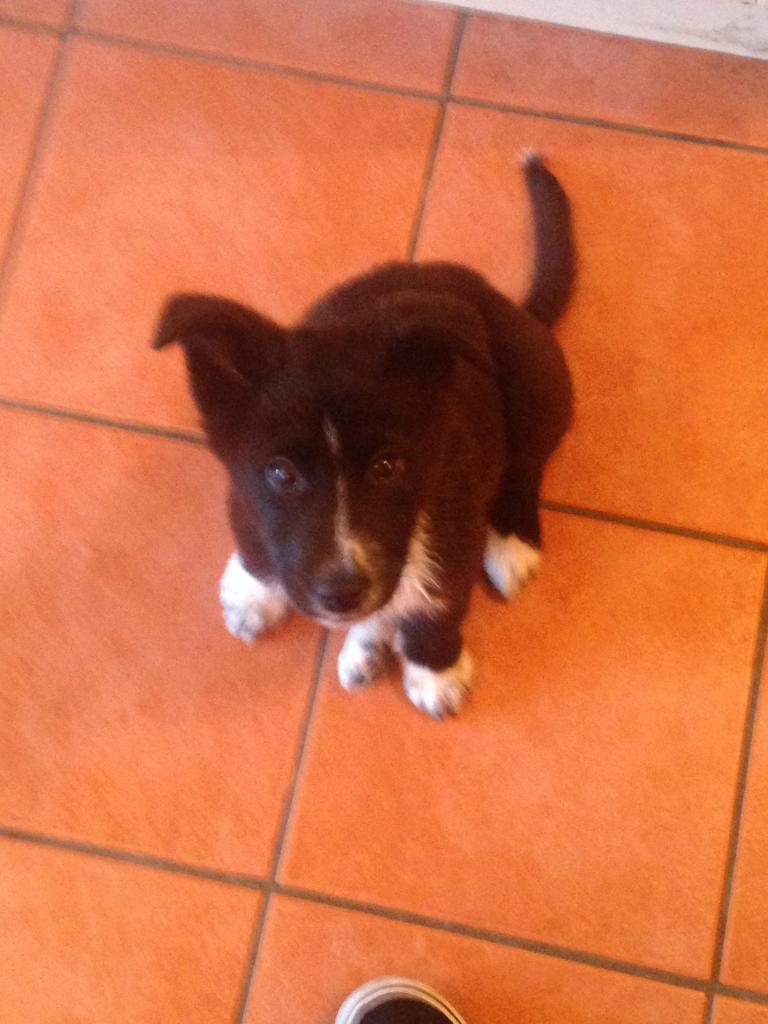 Is My Puppy A Husky? IMG_1430_zps28839b20