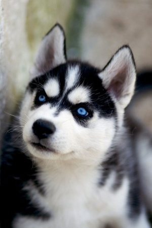 Is My Puppy A Husky? - Page 2 Siberian-husky-profile_zps33c2f7c4