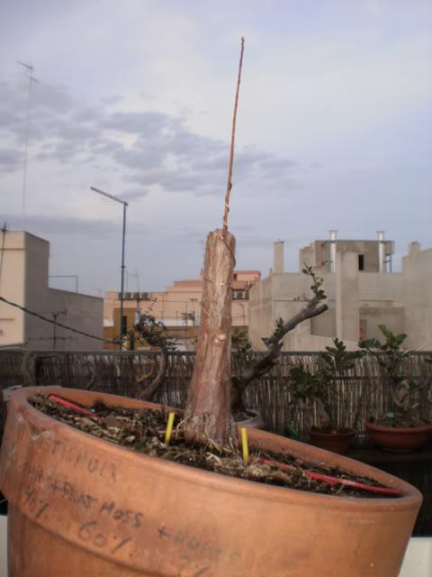 Plantón de Taxodium. Primeros pasitos... - Página 2 Txds0110-13022011-
