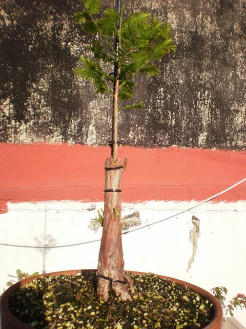 Plantón de Taxodium. Primeros pasitos... - Página 2 Txds0115-08052011-