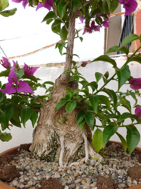 Buganvilla Mini Thai - Página 3 Primaveravalenciana408