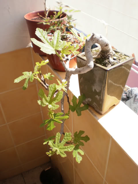 Nueva higuerita Higueraashurektemp1