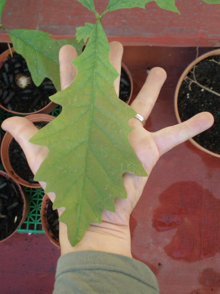 Nos ayudais a crear unos robles??? Quercusmacrocarpa17-25032009-