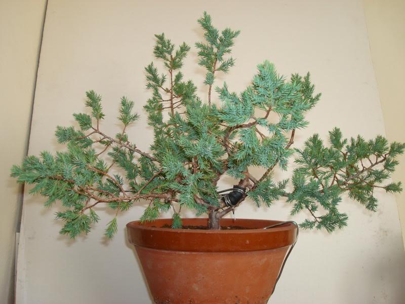 Evolución Juniperus chinensis stricta, desde plantón 2013-09-06c