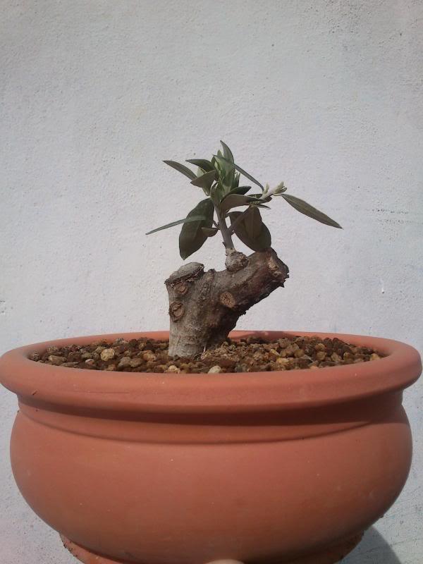 Evolución Olivo desde esqueje 2014-02-28
