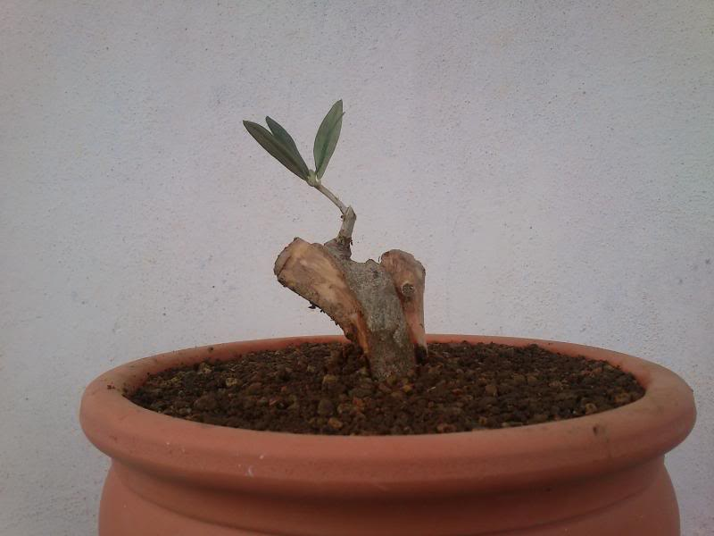Evolución Olivo desde esqueje 2014-04-21b