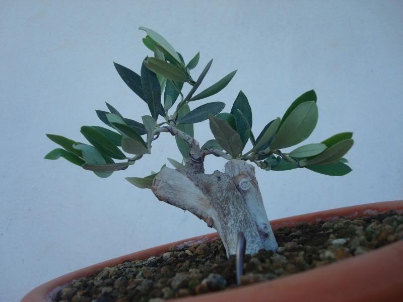 Evolución Olivo desde esqueje 2014-07-13