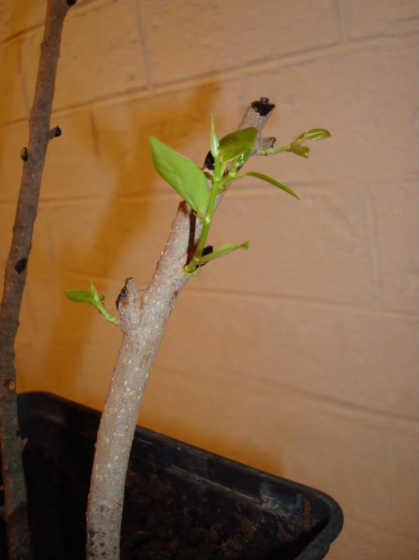 Esquejes Ficus retusa DSC03011