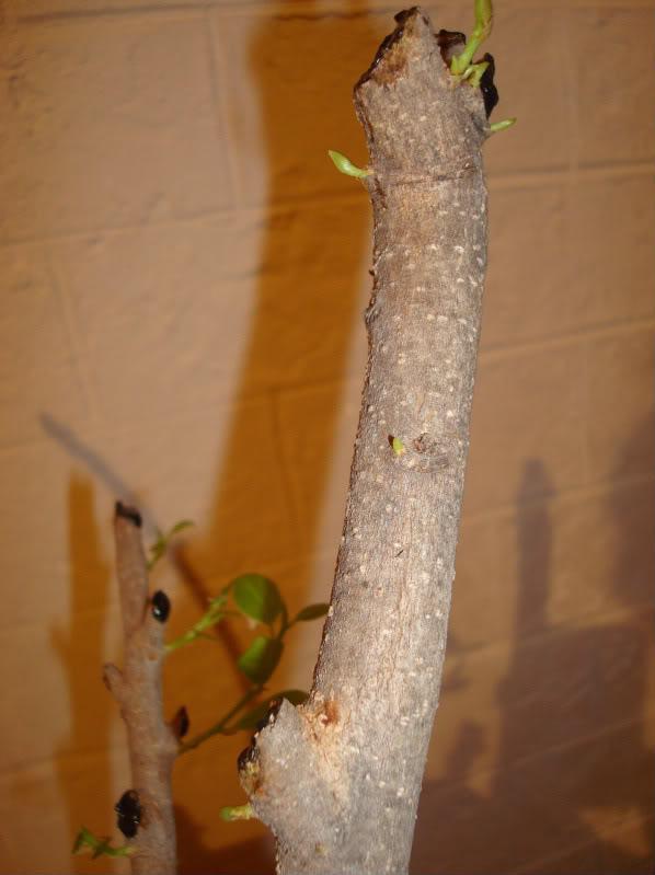 Esquejes Ficus retusa DSC03012