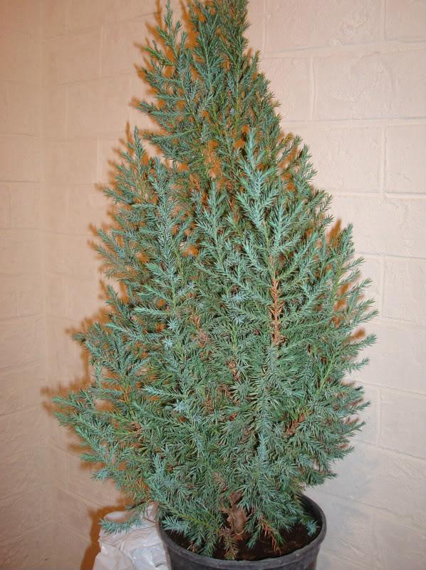 Evolución Juniperus chinensis stricta, desde plantón DSC03461