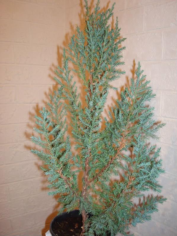 Evolución Juniperus chinensis stricta, desde plantón DSC03465