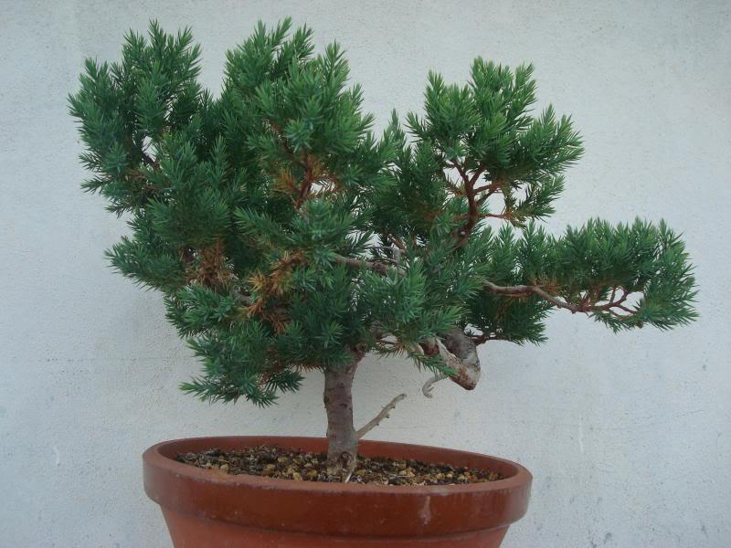 Evolución Juniperus chinensis stricta, desde plantón DSC07371