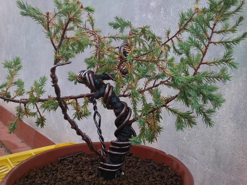 Evolución Juniperus chinensis stricta, desde plantón DSC_0398