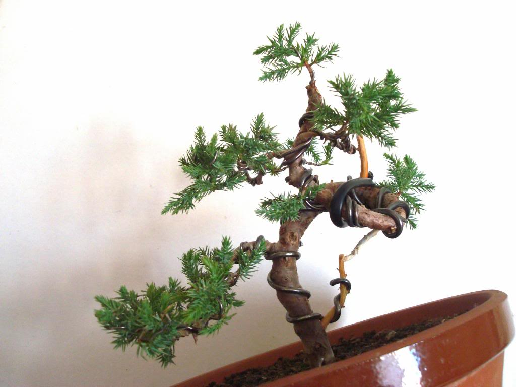 Evolución Juniperus chinensis stricta, desde plantón Adafef05-df69-499d-8cc1-d8dc89fb6dd2