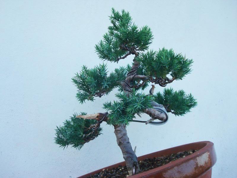 Evolución Juniperus chinensis stricta, desde plantón Mmm