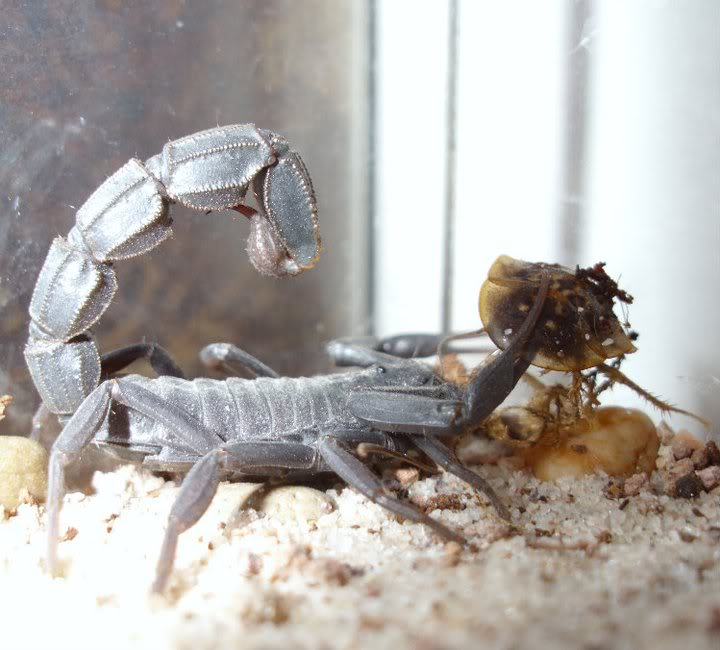 Gromgrom's Scorpion pictures 215783_10150171768935872_513130871_7347359_711279_n