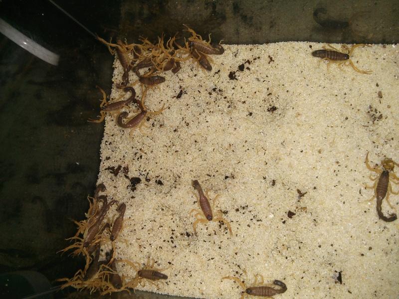 Parabuthus villosus orange morph - US first! IMG_20140625_181155