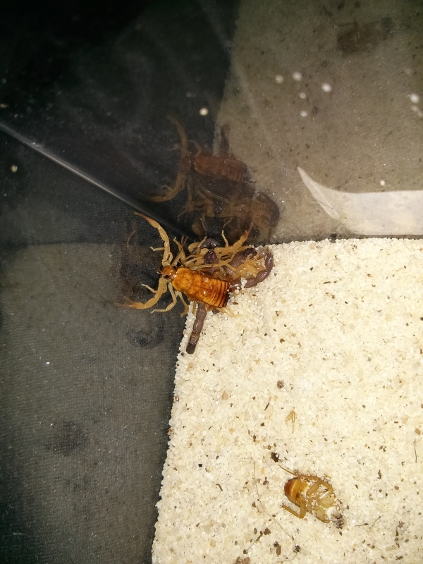 Parabuthus villosus orange morph - US first! IMG_20140628_154651