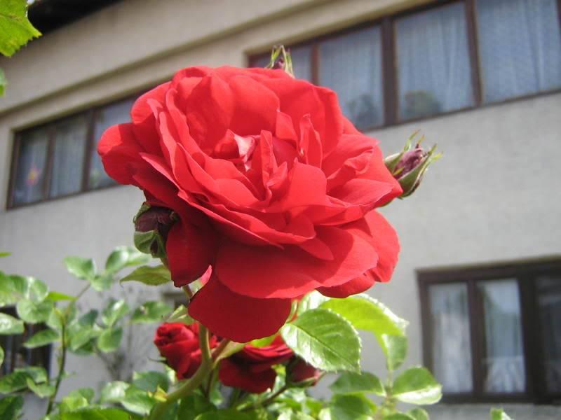 Ruža 20060510013