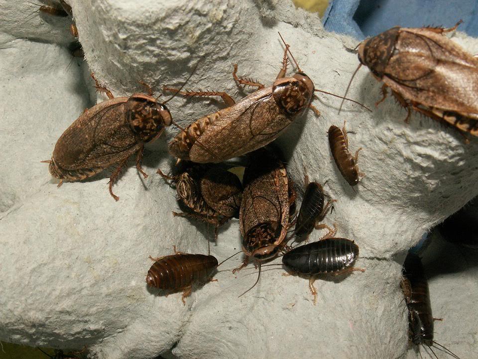 Cría y reproducción de cucarachas.....si!! cucarachas!!!! 222e787c