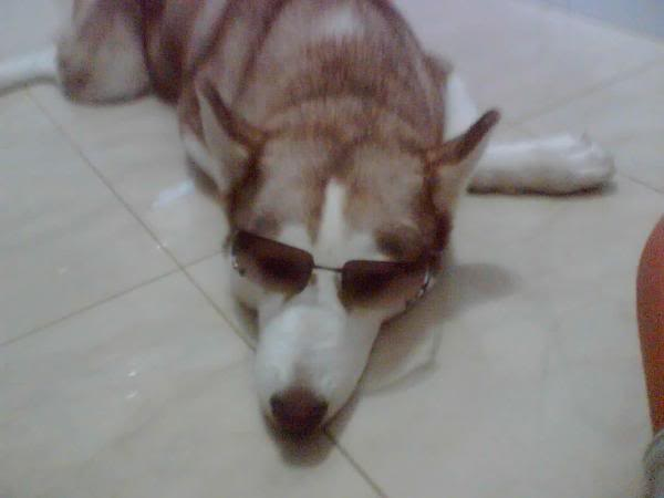 Comedic Husky Picture Thread 25049845960692l1
